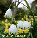 The Loddon Lily, photo photo � E.P.Tozer